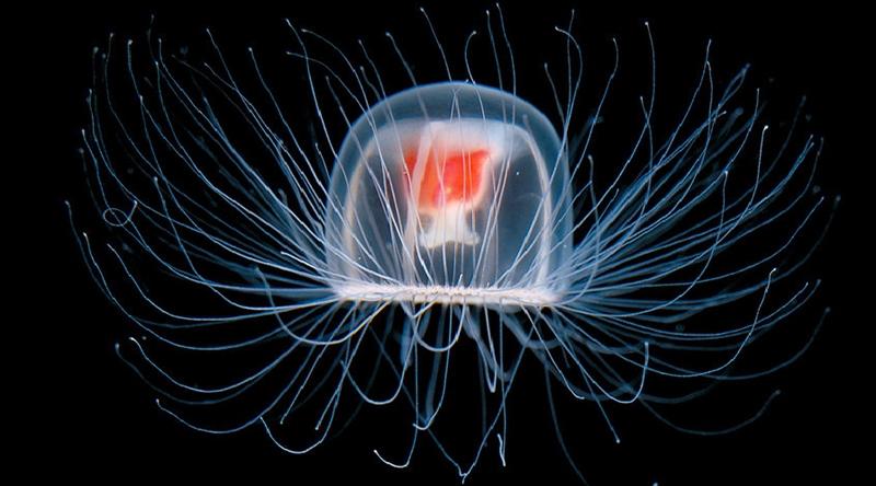Медуза Turritopsis Nutricula – единственное на Земле бессмертное сущес(2 фото )