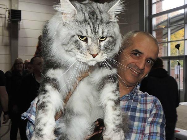 Фото котиков породы мейн-кун, которые убедят вас, что ваша кошка просто крошка!