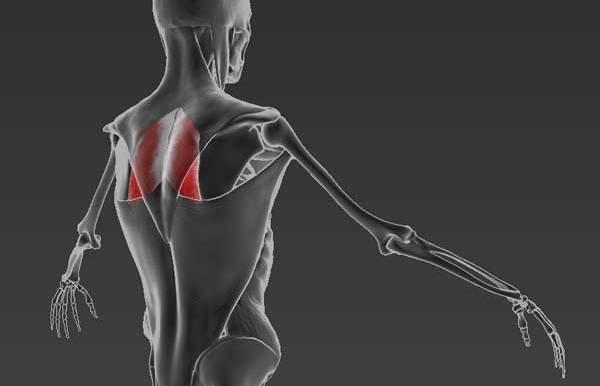 Главная мышца антисутулости: ромбовидная мышца.