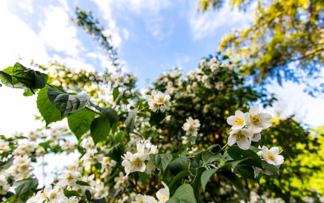 """Кустарник жасмин. Даже при взгляде на фото можно явственно ощутить аромат """"садового жасмина"""" - настолько он запоминающийся, сильный и приятный"""