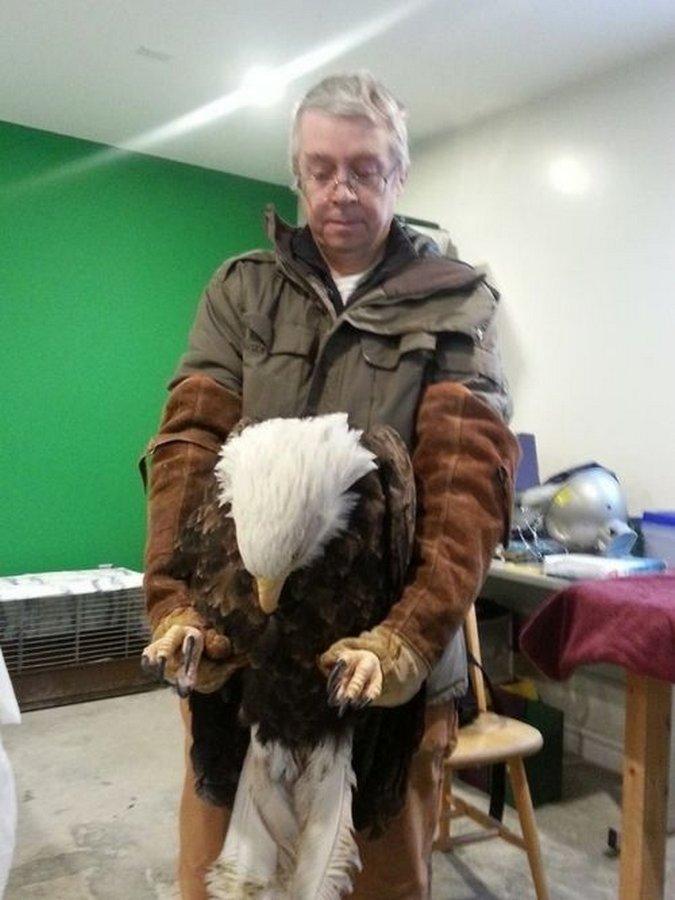 Спасение огромной белоголовой орлицы по прозвищу Бёрдзила