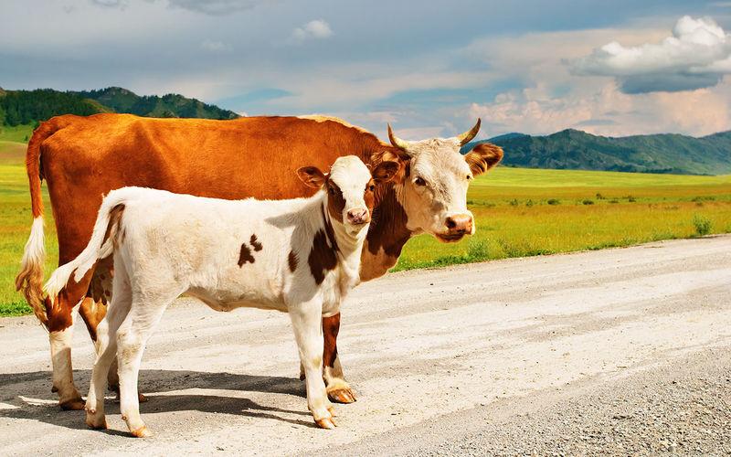 В Ульяновске за нарушение ПДД оштрафовали… коров