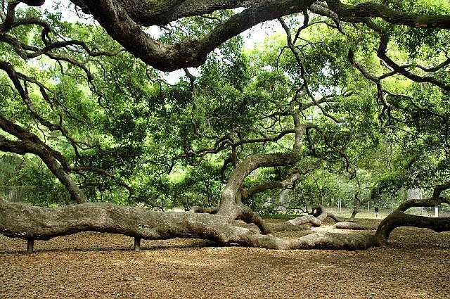 vechnozelenyj-dub