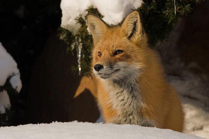fox_20120409_00640_035 (700x500, 40Kb)