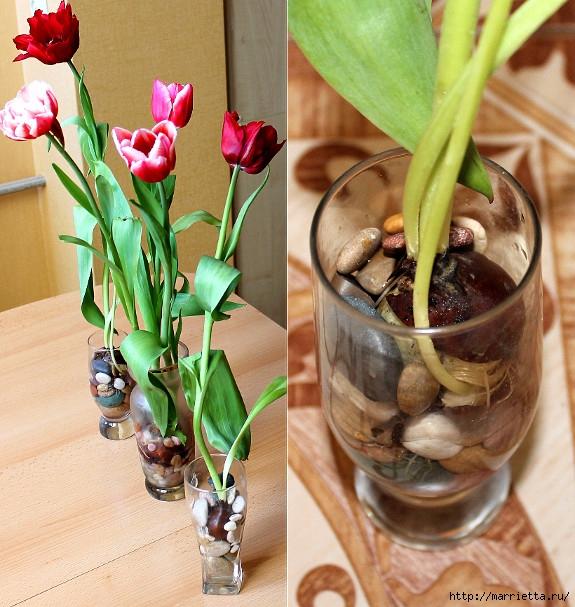 Выращивание тюльпанов в прозрачной вазе. И зимой, и весной
