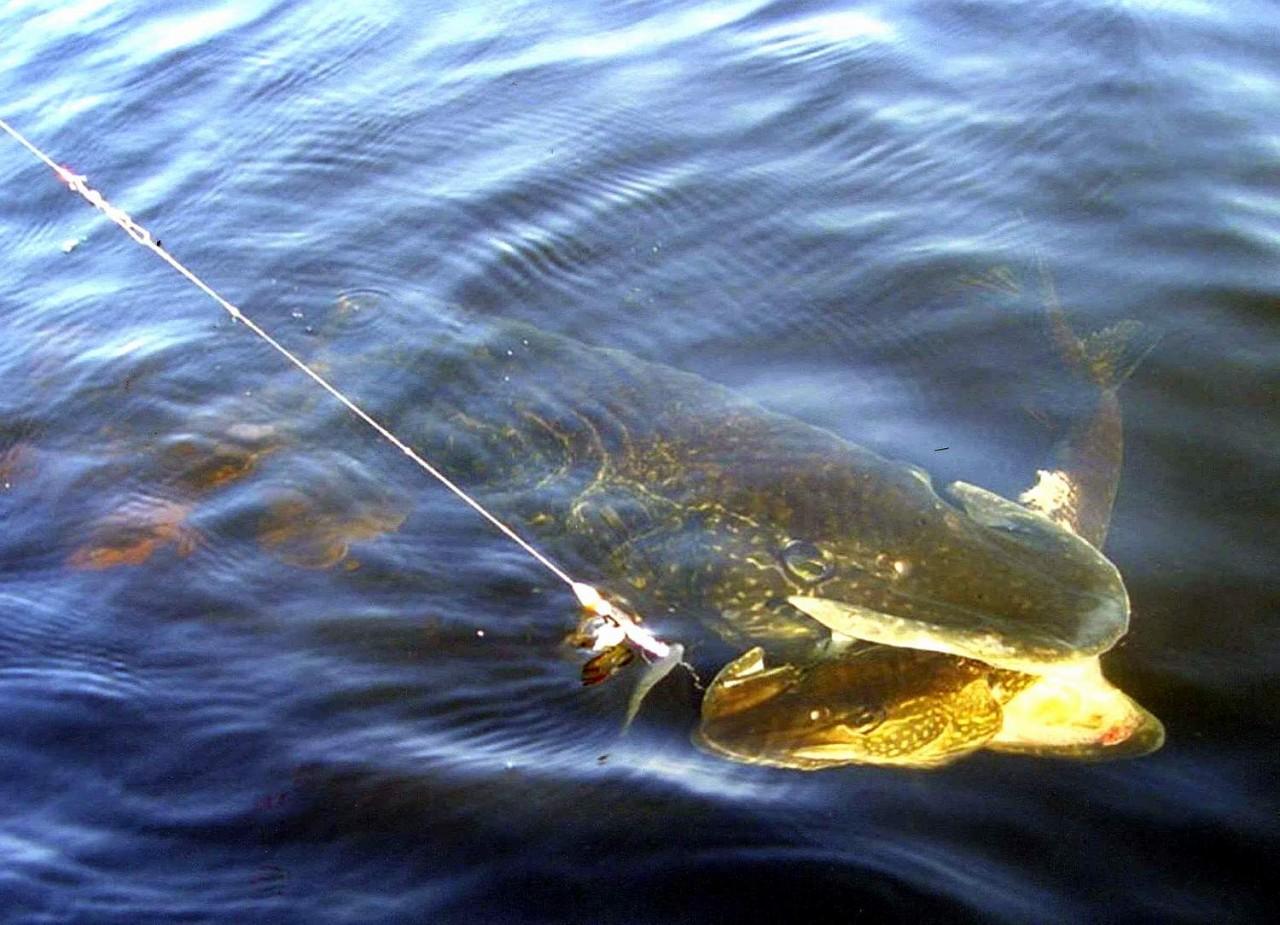 ловля щуки на озере с берега