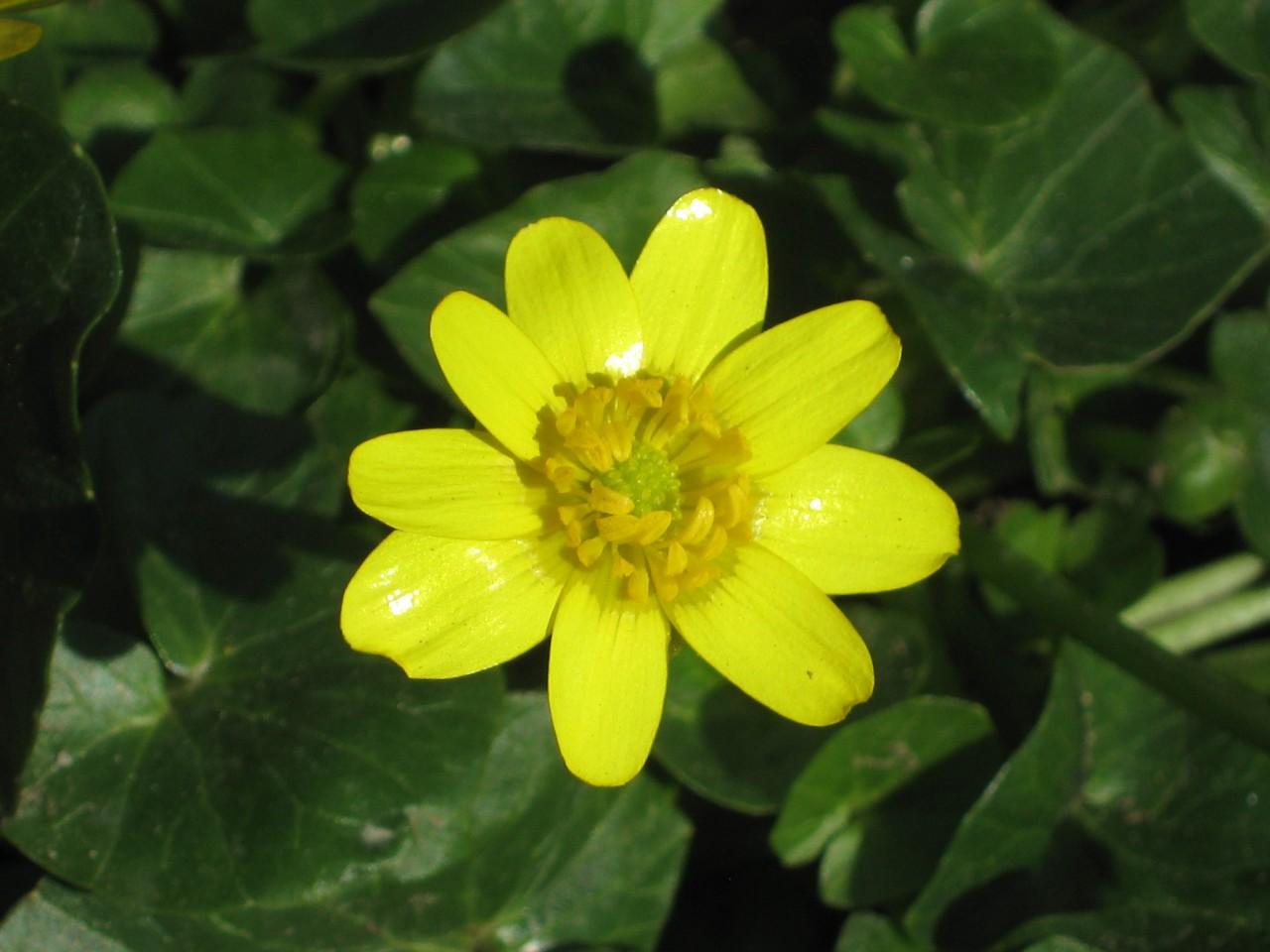 Цветок чистяк весенний фото