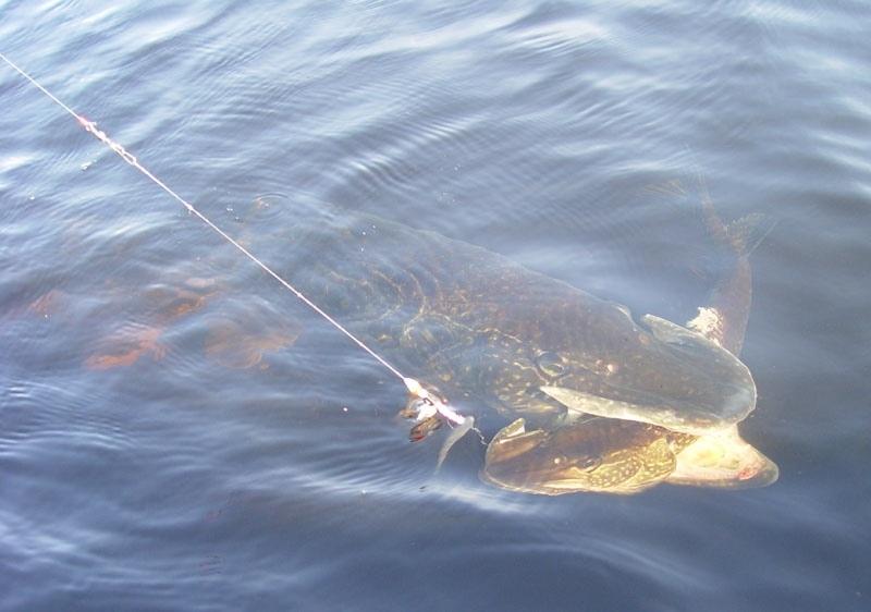 ловля рыбы в красном луче