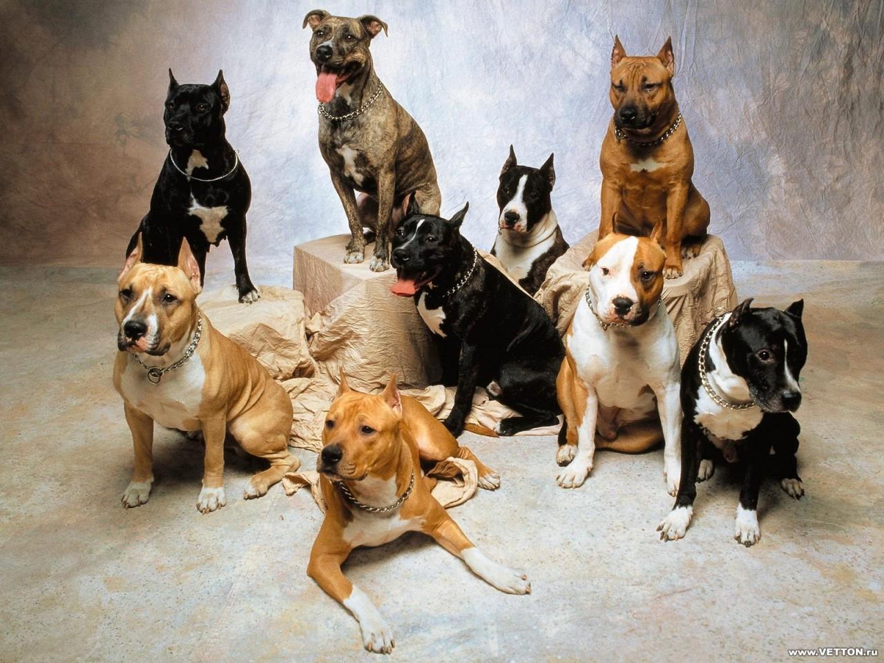 бойцовые собаки обои на рабочий стол № 538616 бесплатно