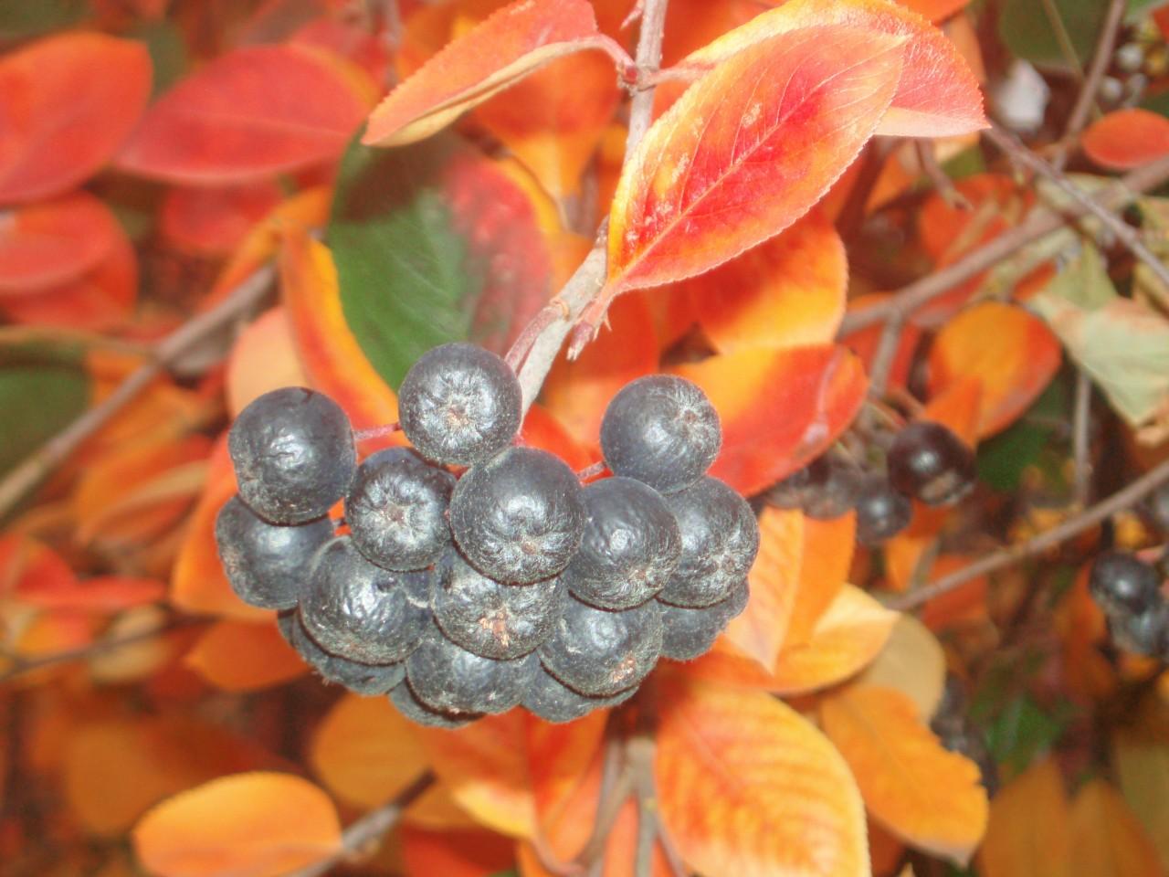 черноплодная рябина Цветочки