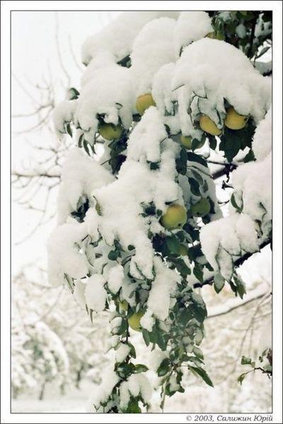 Яблочки под снегом
