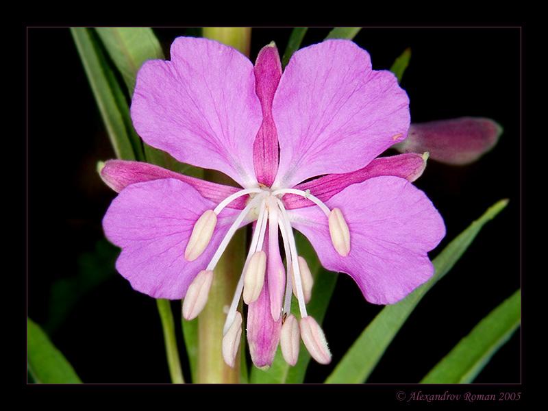Фото цветов кипрея
