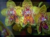 Улыбки орхидей (orchids smiles )