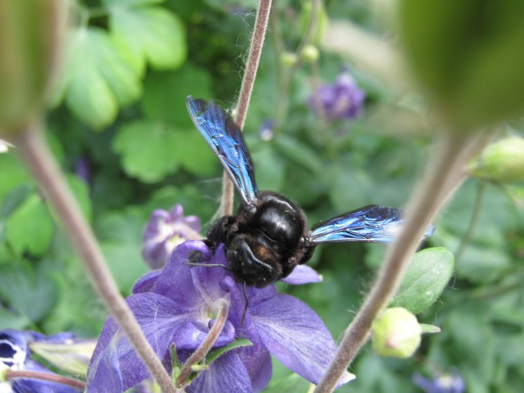 """Xylocopa violacea""  Пчела плотник."