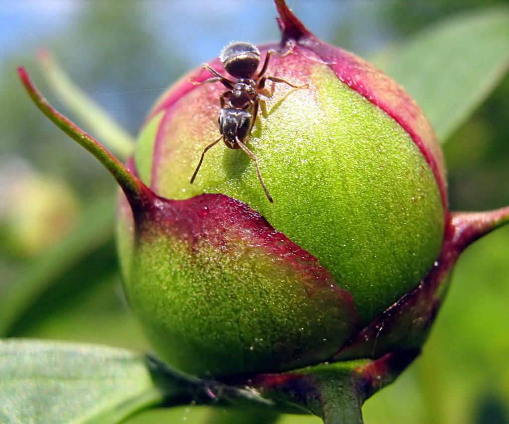 Самый маленький из всех муравьёв. ))