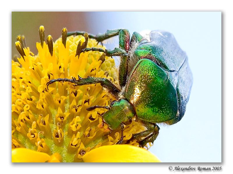 Бронзовка (Cetonia sp.) (Возможно бронзовка золотистая С. aurata)