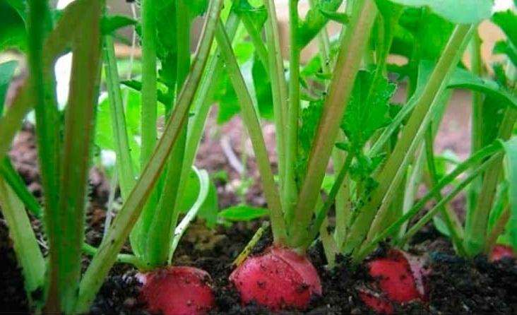 Как за лето вырастить несколько урожаев редиса?