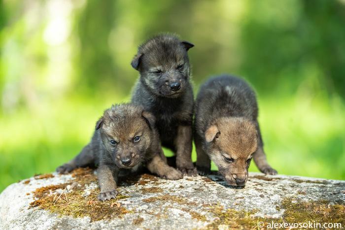 А вы видели новорожденных волчат?.. Волк, Волчата, Алексей Осокин, Длиннопост, Милота