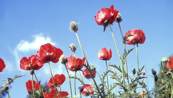 В России хотят разрешить выращивание опиумного мака