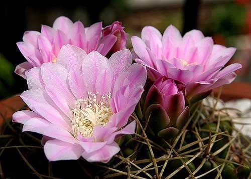 Гимнокалициум кактусы