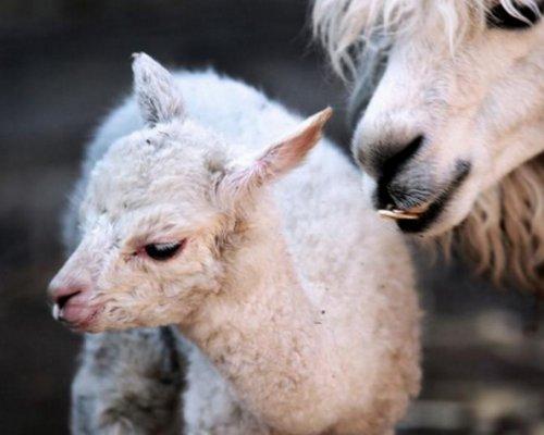 В Московском зоопарке родился первый детеныш альпака