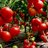 Сорта помидор, устойчивых к фитофторе: выбираем томаты без фитофтороза.
