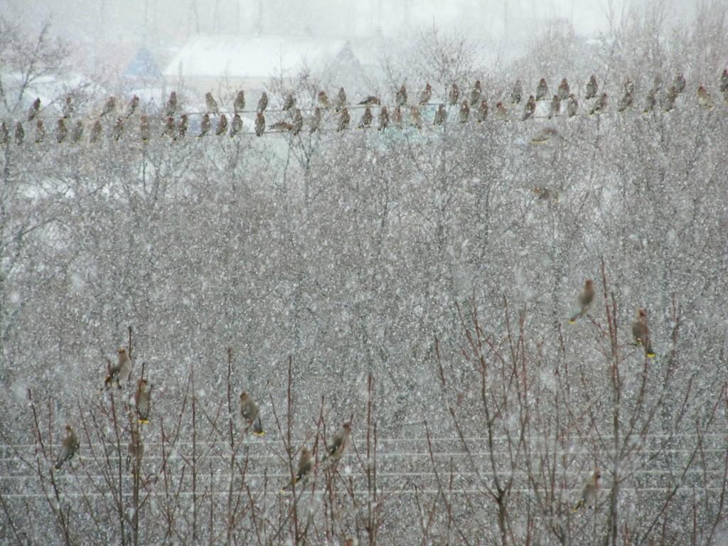 Снежная мелодия: хор свиристелей, автор музыки - метель!