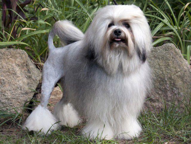 5. Малая львиная собака (лёвхен) Порода, собака