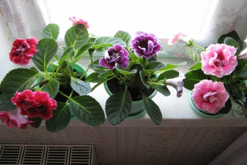 Глоксиния - секреты ухода, выращивания и размножения
