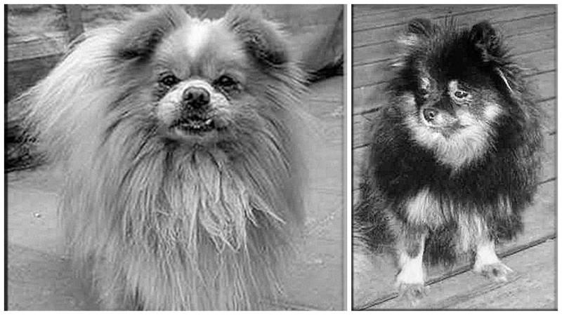 Выжившие  -  пекинес Сунь Ят-сен и шпиц Леди  история, кошмар, погибшие, собаки, титаник