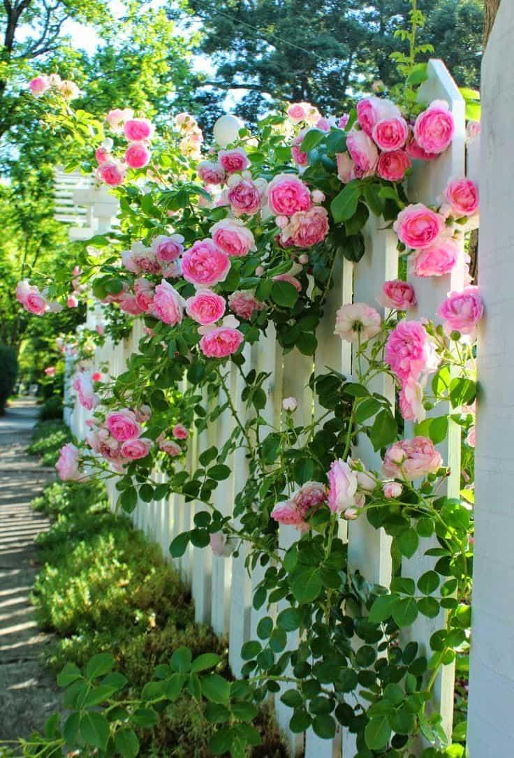 Красивая живая изгородь из чудесных роз каждый день будет дарить вам весеннее настроение