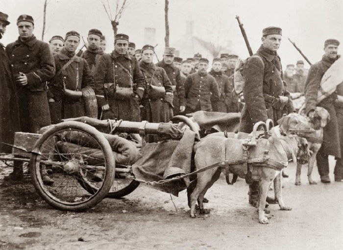Во время Первой мировой войны бельгийские военные использовали собак для перевозки пушек.
