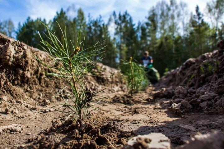 Запасов древесины в Сибири хватит только на 15 лет при нынешних темпах добычи. Лес уже не восстанавливается. вырубка леса, обыкновенный фашизм, сибирь