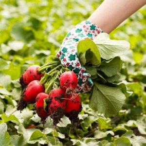 Выращивание осеннего редиса – высаживаем и получаем урожай без хлопот