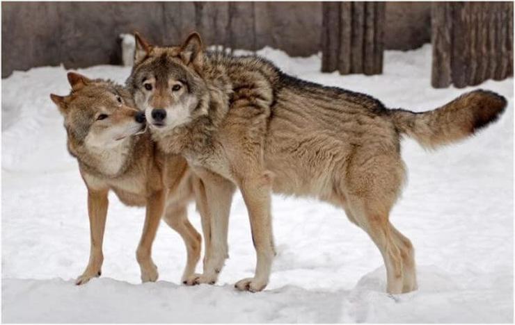 Волки помогли принять роды у…