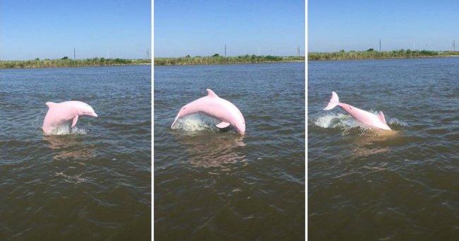 Обнаружен редкий розовый дельфин