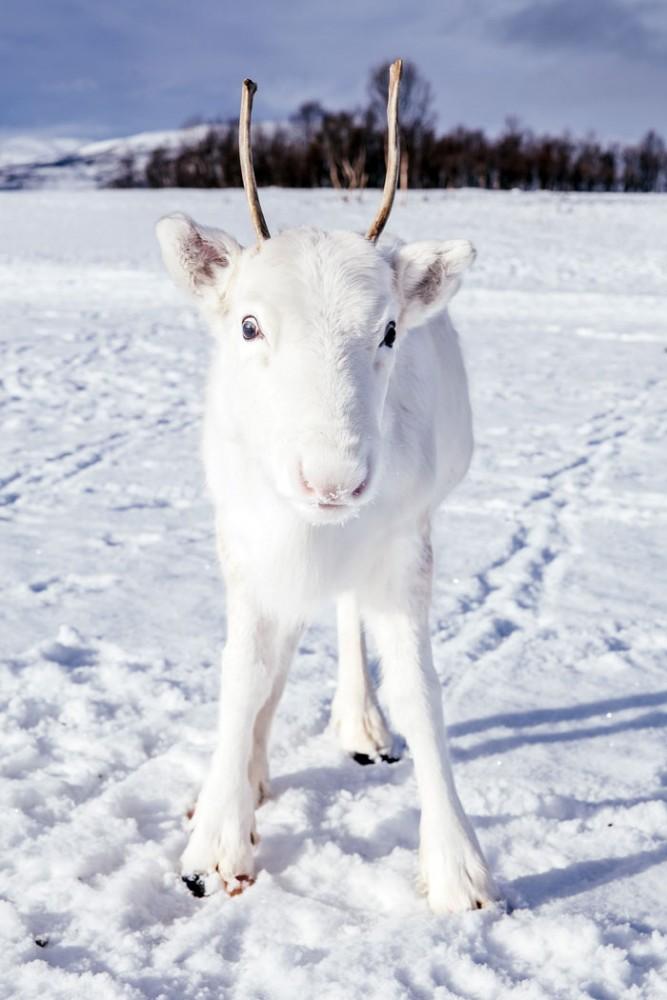 В Норвегии родился редкий белый олененок