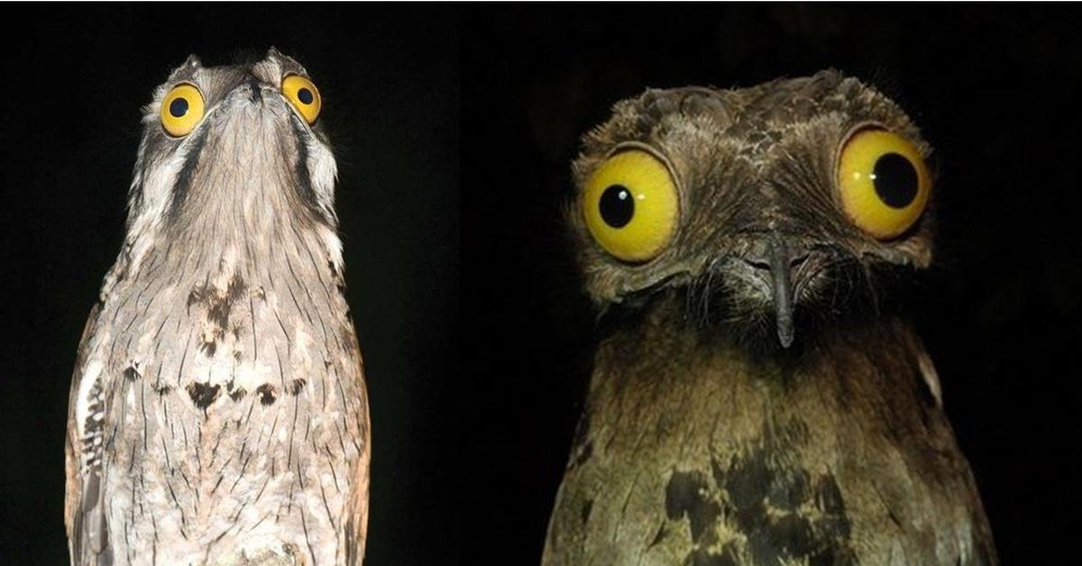 Лицо с обложки: венесуэльская птичка поту строит глазки лучше, чем звезды
