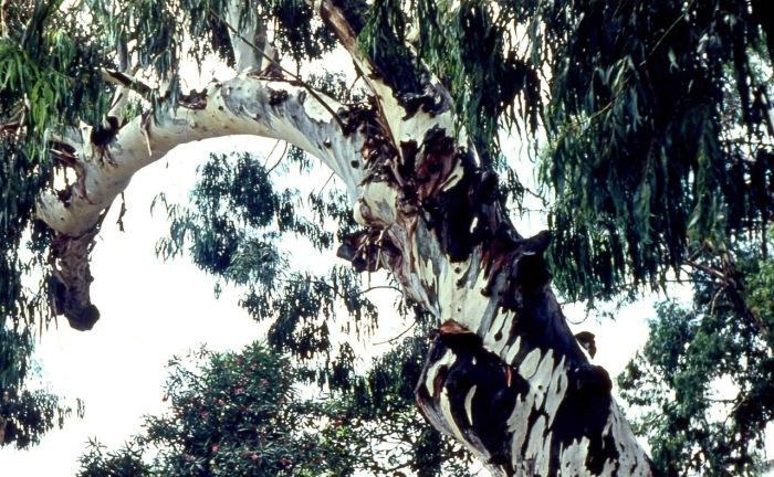 Древние деревья Грузии.