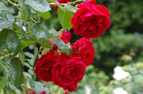 10 лучших роз Кордеса