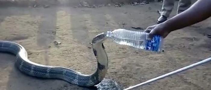 Умирающая от жажды кобра попросила у людей воды