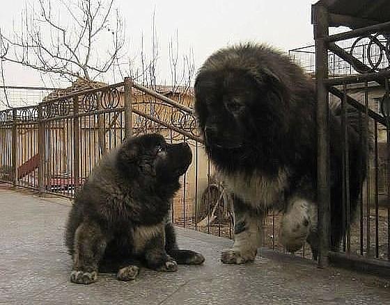 Фото самой крупной кавказской овчарки