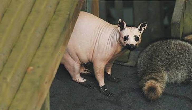 baldanimals07 Забавное и странное зрелище: облысевшие животные