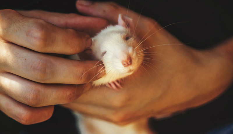 Вся палитра эмоций на мордашках: лабораторных крысок впервые выпустили из клеток