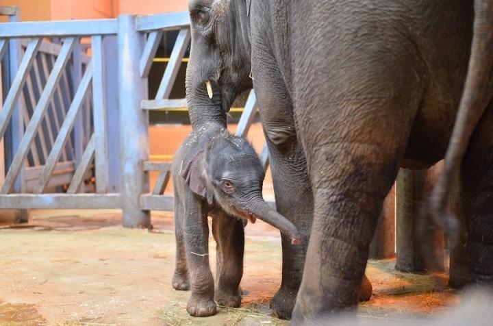 В зоопарке Ростова слониха Синта родила второго малыша