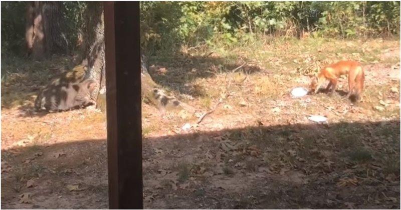 Кот атаковал зашедшую на его территорию лису
