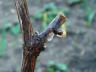 Обрезка винограда для начинающих – простым языком о сложном + Видео