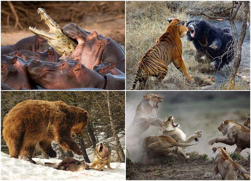 животные, стычка, бой, драка