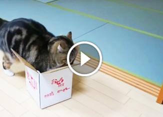 Котик пытается втиснуть свою попу в маленькую коробочку