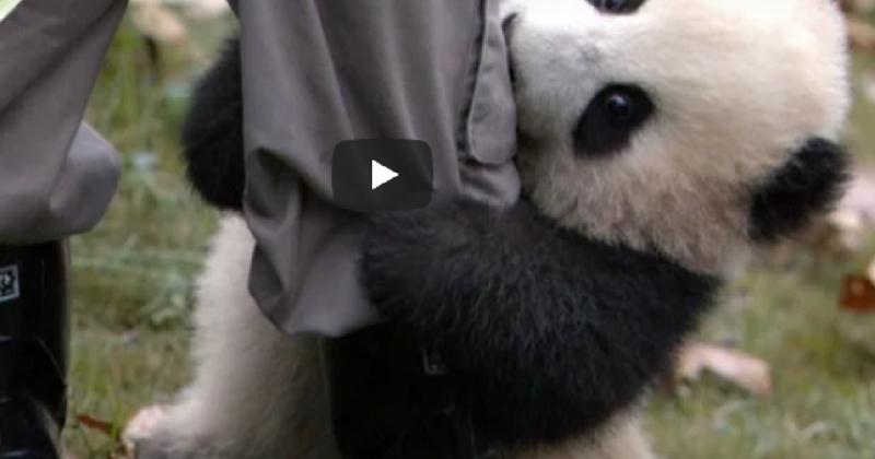Умилительный малыш панды и работник зоопарка взорвали сеть!